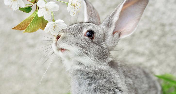 Канадский кролик